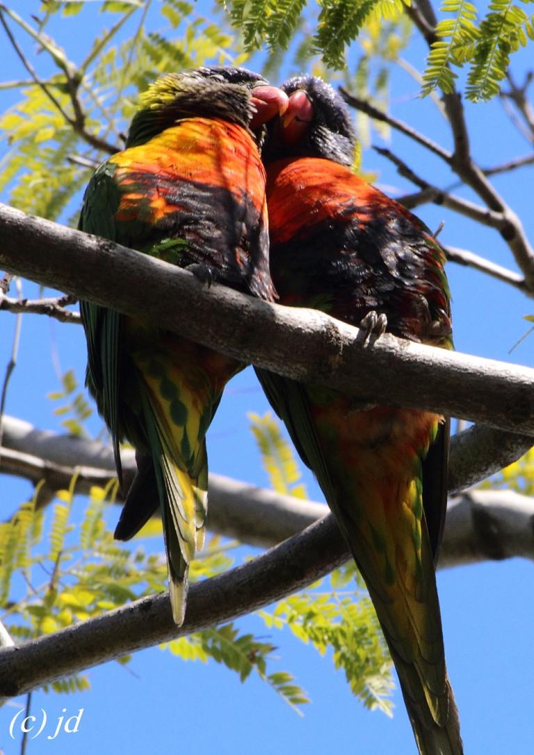 love-birds-jd